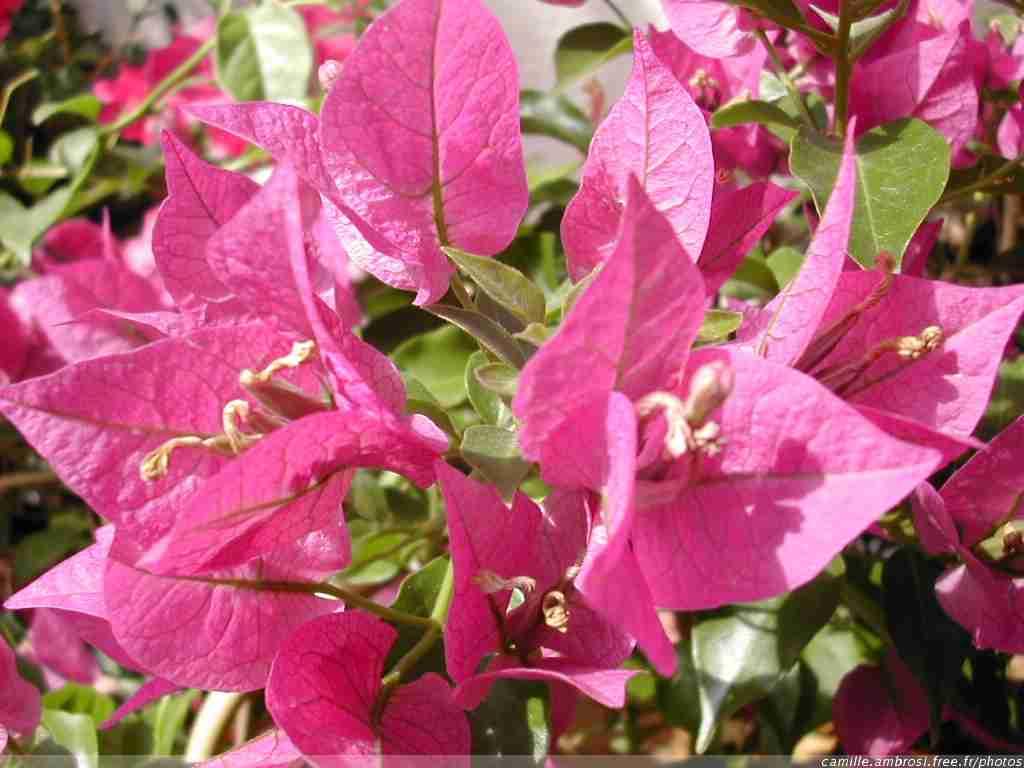 [fleurs - fleurs1005.jpg - 1024x768 - Bougainvillier]